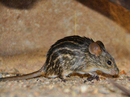 Spotted grass mouse