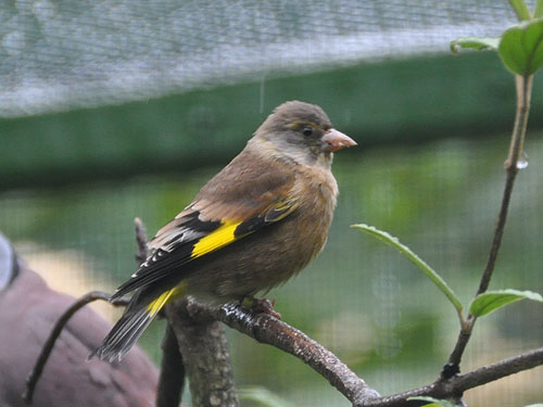 Oriental greenfinch