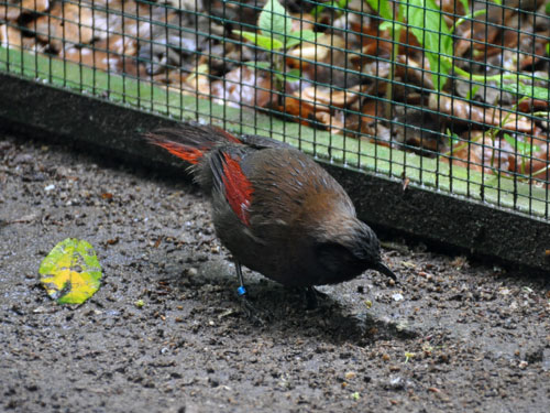 Red-winged laughing thrush