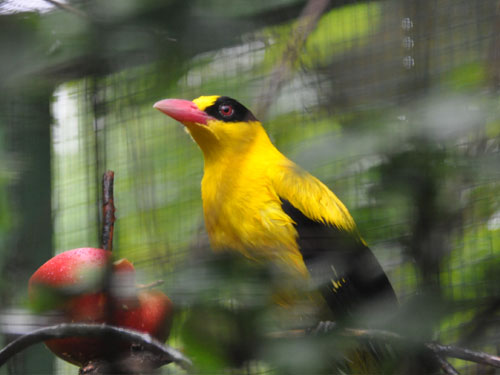photo Black-naped oriole / <span class='cursive'>Oriolus chinensis diffusus</span>