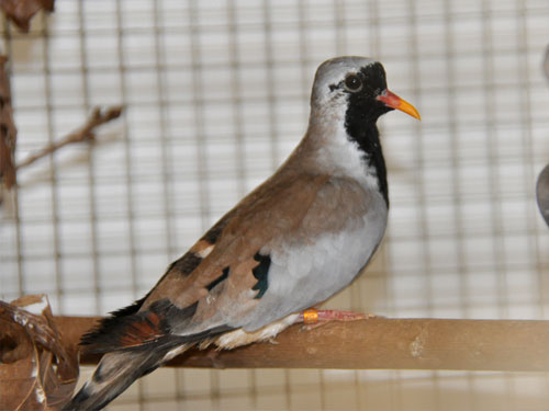 photo Namaqua dove / <span class='cursive'>Oena capensis</span>