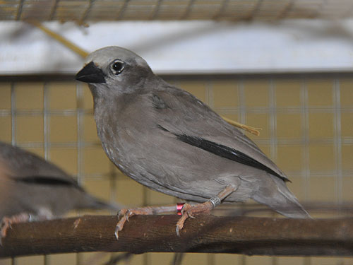 Grey-headed social weaver