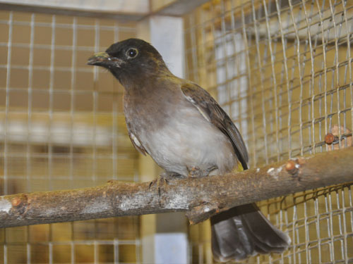 White-vented bulbul