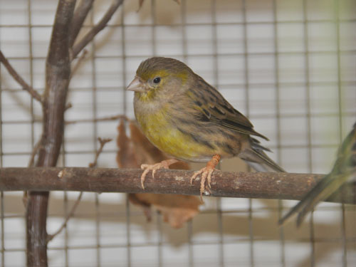 photo Common canary / <span class='cursive'>Serinus canaria</span>