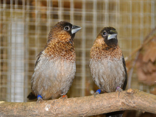 White-backed munia