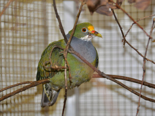 photo Orange-fronted fruit dove / <span class='cursive'>Ptilinopus aurantiifrons</span>