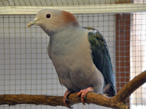 Chestnut-naped  imperial pigeon