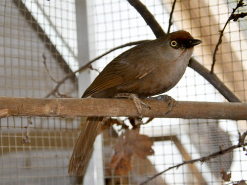 Red-fronted laughing thrush