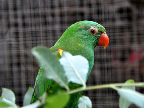 photo Scaly-breasted lorikeet / <span class='cursive'>Trichoglossus chlorolepidotus</span>