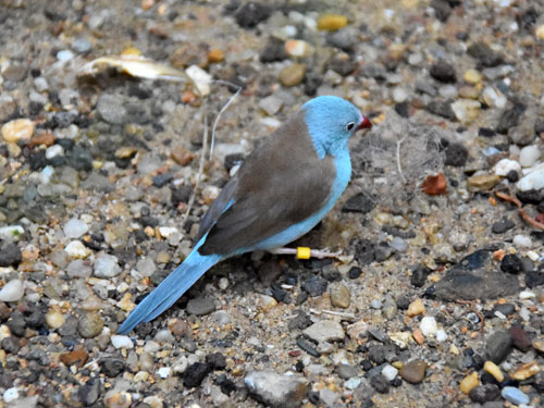 Blue-capped cordon-bleu