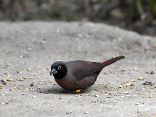 Black-faced fire-finch