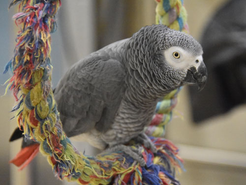 photo Grey parrot / <span class='cursive'>Psittacus erithacus erithacus</span>