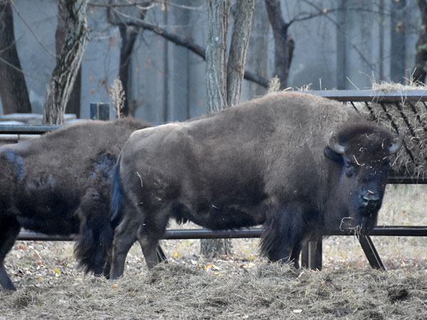photo American bison / <span class='cursive'>Bison bison</span>