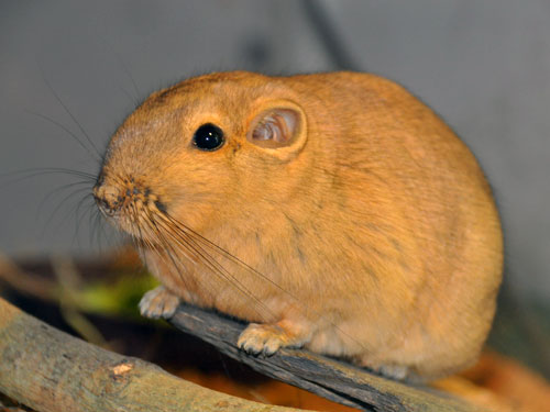 photo Gundi / <span class='cursive'>Ctenodactylus gundi</span>