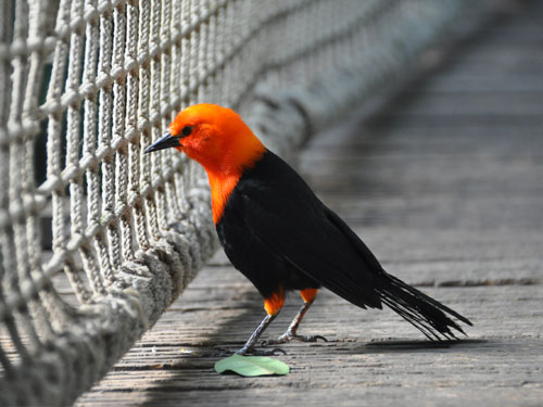photo Scarlet-headed blackbird / <span class='cursive'>Amblyramphus holosericeus</span>