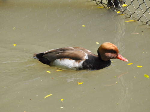 photo Red-crested pochard / <span class='cursive'>Netta rufina</span>