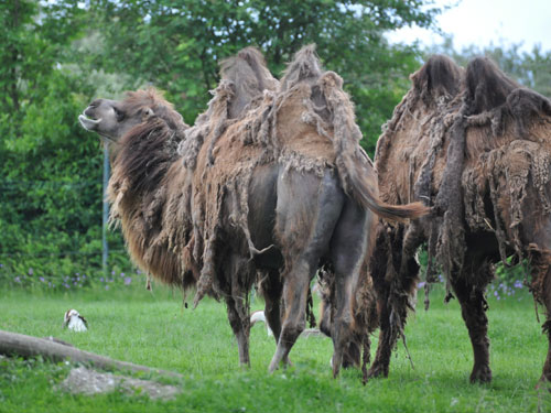 photo Bactrian camel / <span class='cursive'>Camelus bactrianus</span>