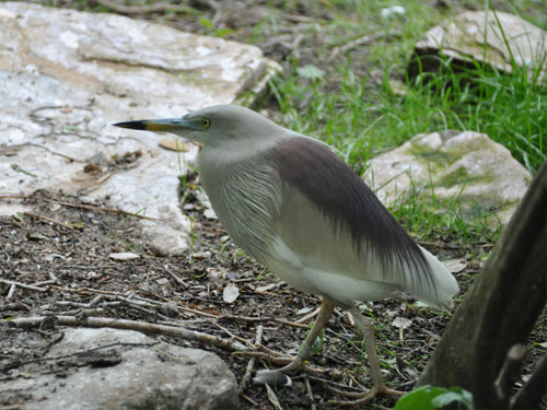 photo Indian pond heron / <span class='cursive'>Ardeola grayii</span>