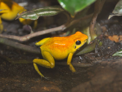 photo Golden poison dart frog / <span class='cursive'>Phyllobates terribilis</span>