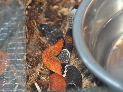 photo Sinaloan milksnake / <span class='cursive'>Lampropeltis triangulum sinaloae</span>