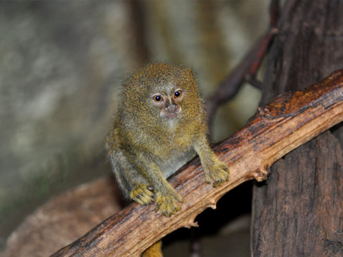 photo Eastern pygmy marmoset / <span class='cursive'>Cebuella pygmaea niveiventris</span>