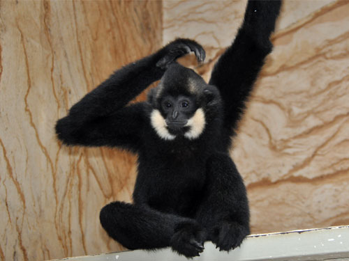 Buff-cheeked gibbon