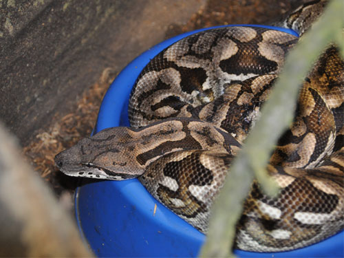 photo Dumeril's ground boa / <span class='cursive'>Acrantophis dumerili</span>