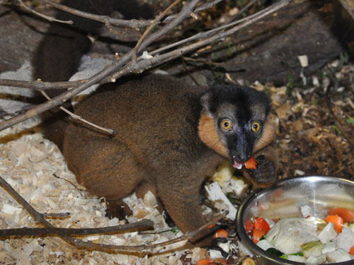 photo Red-collared brown lemur / <span class='cursive'>Eulemur collaris</span>
