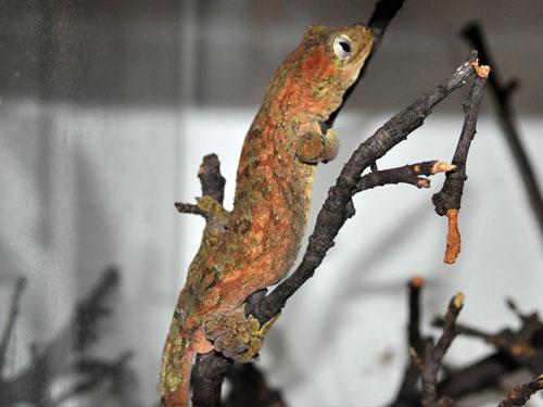 photo Rhacodactylus chahoua / Bavay's giant gecko