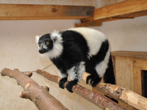 photo Varecia variegata variegata / Black-and-white ruffed lemur