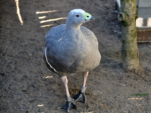 photo Cereopsis novaehollandiae / Cape Barren goose