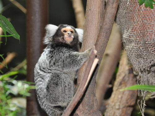 photo Common marmoset / <span class='cursive'>Callithrix jacchus</span>