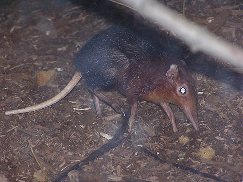 photo Black-and-rufous elephant shrew / <span class='cursive'>Rhynchocyon petersi</span>