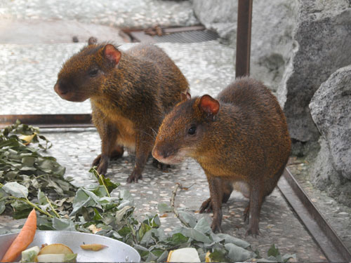 photo Central American agouti / <span class='cursive'>Dasyprocta punctata</span>