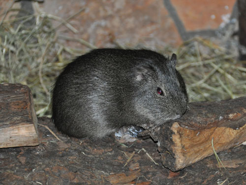 photo Brazilian guinea pig / <span class='cursive'>Cavia aperea</span>
