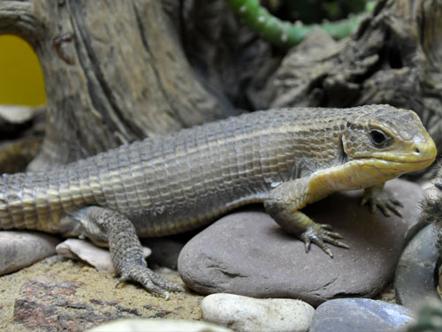 photo Gerrhosaurus major / Round-nosed plated lizard