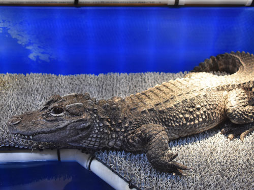 photo Chinese alligator / <span class='cursive'>Alligator sinensis</span>