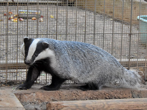 Eurasian badger
