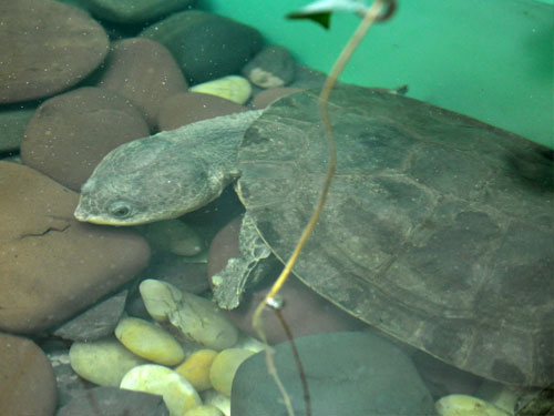 Common toad-headed turtle
