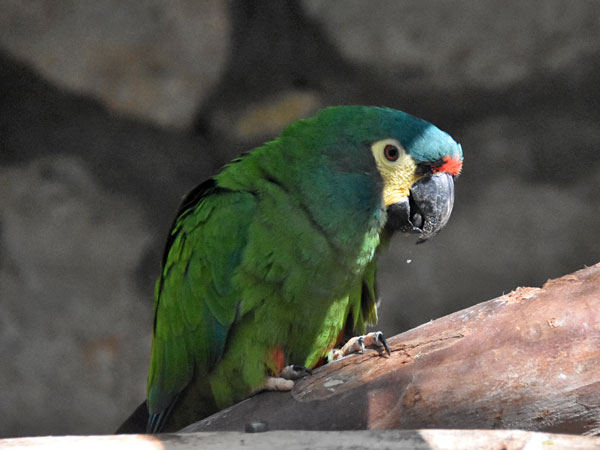 photo Chestnut-fronted macaw / <span class='cursive'>Ara severus</span>