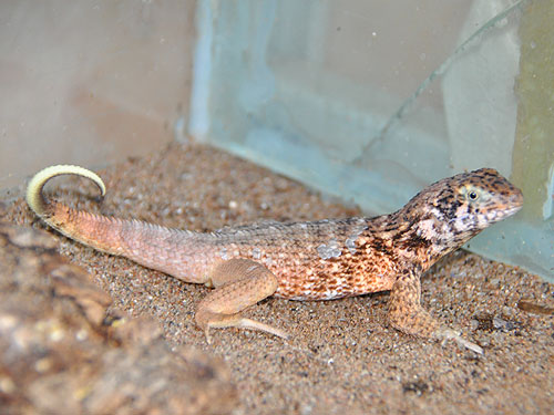 Cayman lion lizard