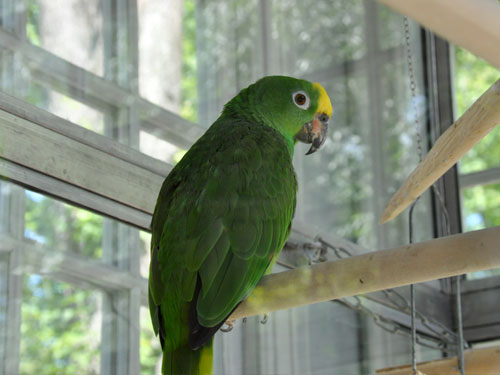 photo Yellow-crowned amazon / <span class='cursive'>Amazona ochrocephala</span>