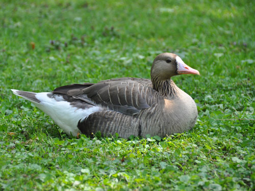 photo White-fronted goose / <span class='cursive'>Anser albifrons</span>