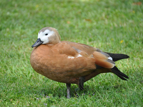 photo Ruddy shelduck / <span class='cursive'>Tadorna ferruginea</span>