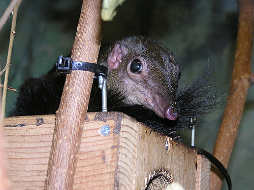 Large tree shrew