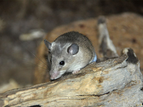 photo Turkish spiny mouse / <span class='cursive'>Acomys cilicicus</span>