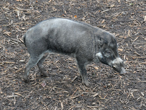 Negros Island warty pig