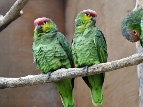 photo Ecuadorian red-lored amazon / <span class='cursive'>Amazona lilacina</span>