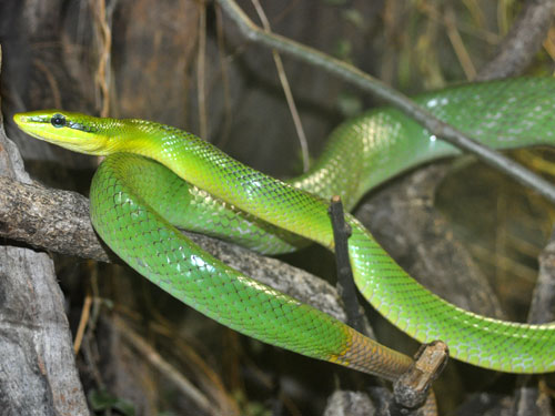 photo Red-tailed ratsnake / <span class='cursive'>Gonyosoma oxycephala</span>