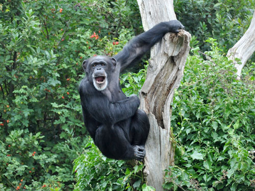 photo Chimpanzee / <span class='cursive'>Pan troglodytes</span>